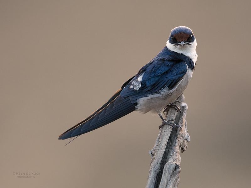 White-throated Swallow, Pilansberg NP, Sept 2016-4.jpg