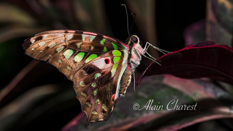 Papillon__ALH7360.jpg