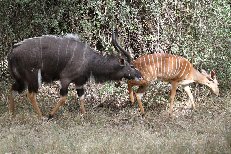 Male and female nyala