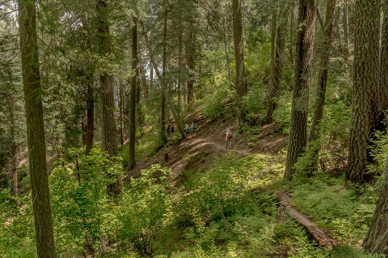 Mt Lemmon Old Growth #12