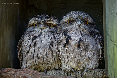Tawney Frogmouths: 2020