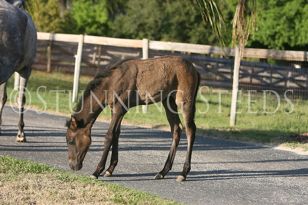 Jaranero II foal