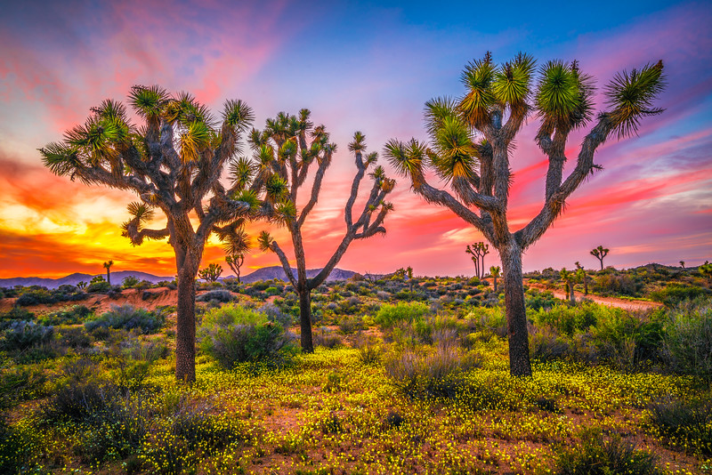 Joshua Tree Spring Symphony #24: Joshua Tree National Park Wildflowers Superbloom Sunset Fine Art Landscape Nature Photography  Dr. Elliot McGucken Prints & Luxury Wall Art!