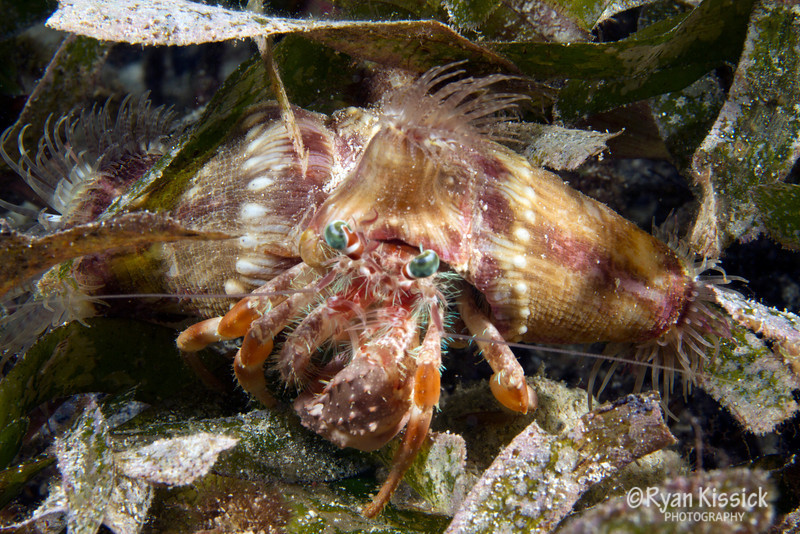 Hermit crab amongst sea grass; notice the interesting design of its shell