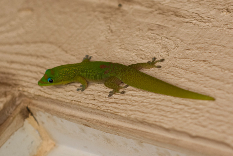 Phelsuma laticauda, north Kihei (Maui, Hawaii) (09/2010)