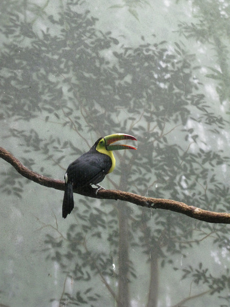 Toucan; Central Park Zoo, NYC