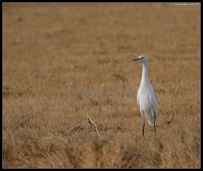 Cattle Egret, Salton Sea, Imperial County, California, November 2009
