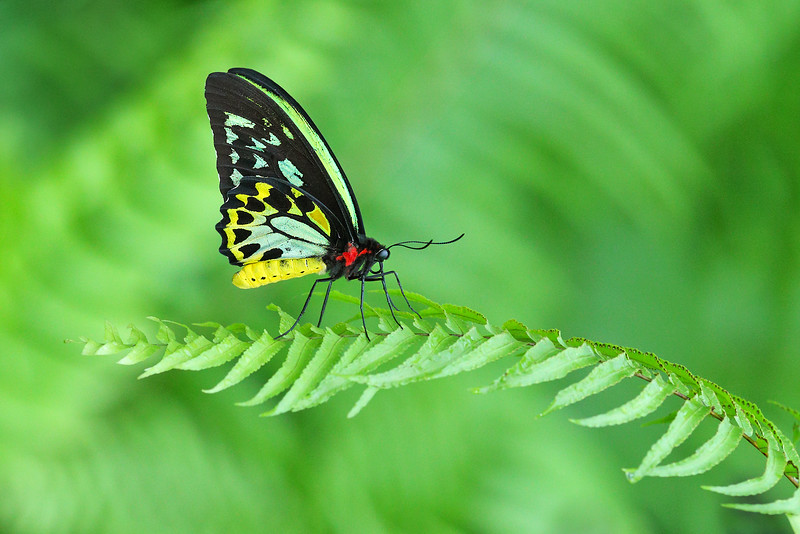 Cairns Birdwing Butterfly male MASTER.jpg