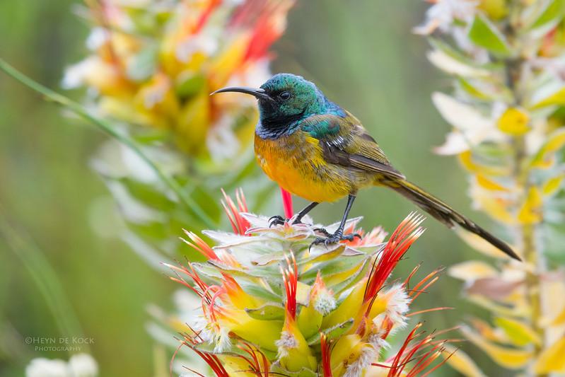 Orange-breasted Sunbird, Cape of Good Hope NP, Sept 2016.jpg