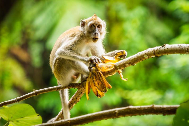 Crab-eating macaque, Indonesia., long-tailed macaque (Macaca fascicularis). Eating bananas. Bukit Luwang, Northern Sumatra.