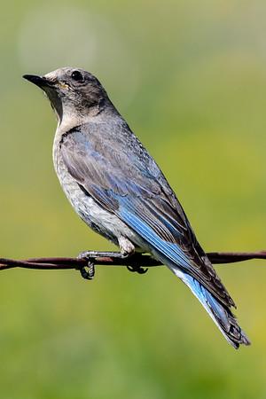 6-5-18 *^Mountain Blue Birds
