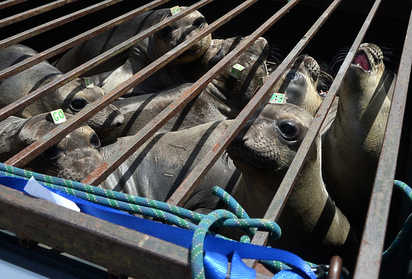 . Juvenile northern elephant seals wait in the back of a Marine Mammal Center truck before being released at Chimney Rock in West Marin, near Inverness, Calif. on Thursday, May 10, 2018. (Alan Dep/Marin Independent Journal)