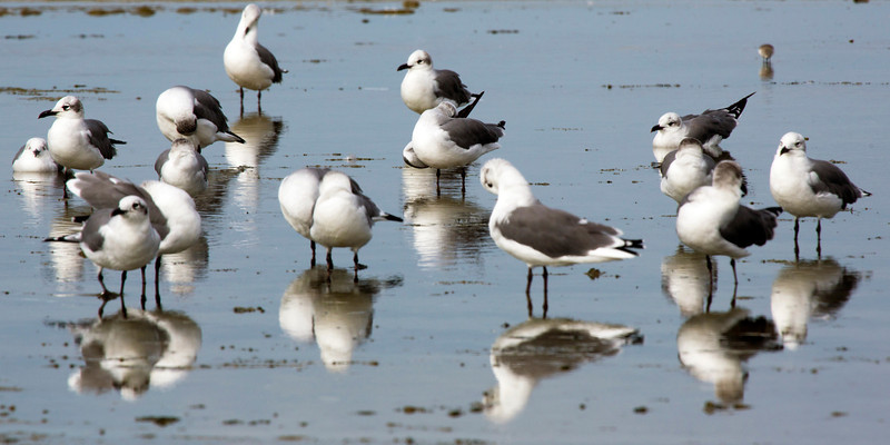 Along the Texas City Dike are squadrons of Gulls.