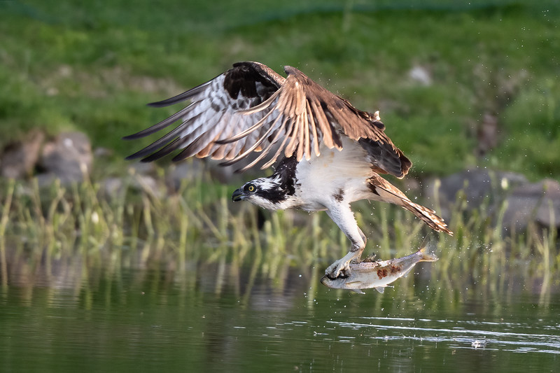 #1614 Osprey