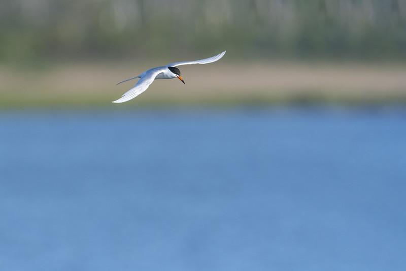 Forsters Tern in Flight.jpg