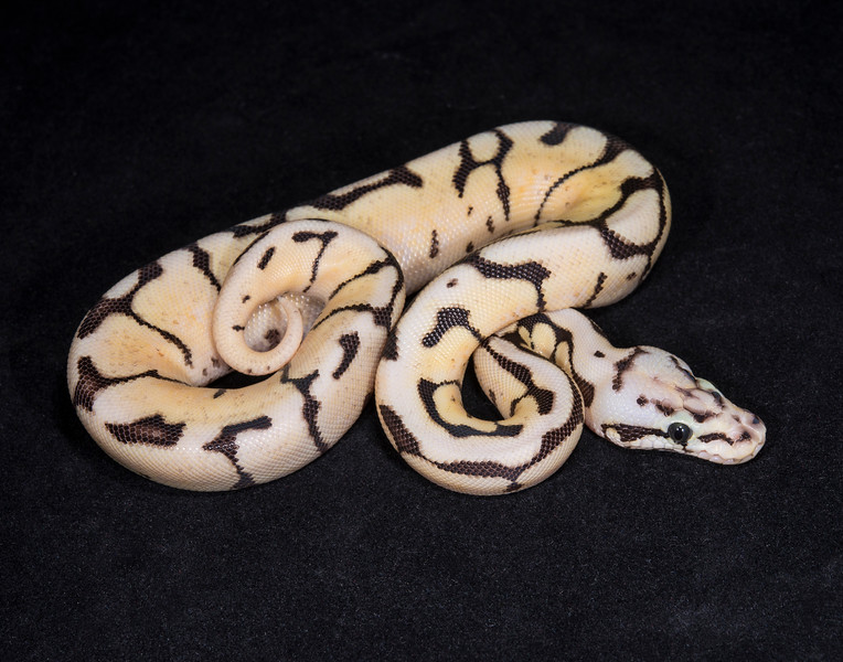 065FFB, female Fire Bee, $300.  Hold for Mary R.