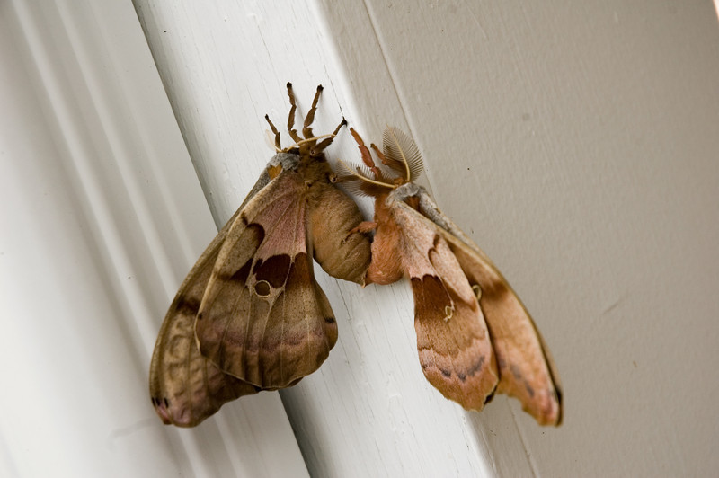Polyphemus Moths (Antheraea polyphemus)