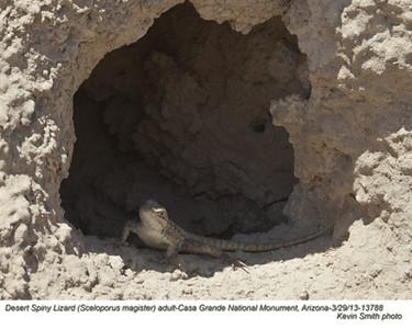 DesertSpinyLizardA13788.jpg