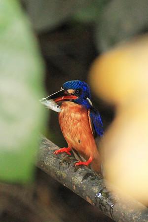 Kinabatangan River - Birds