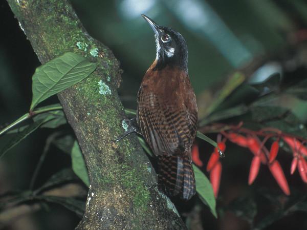 Wren Costa Rica