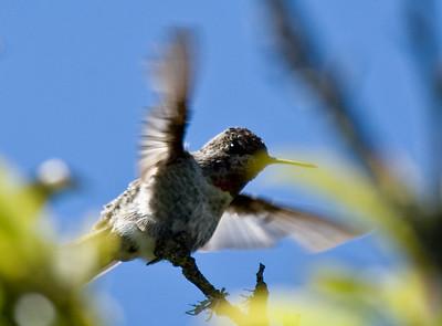 Hummingbirds B&W