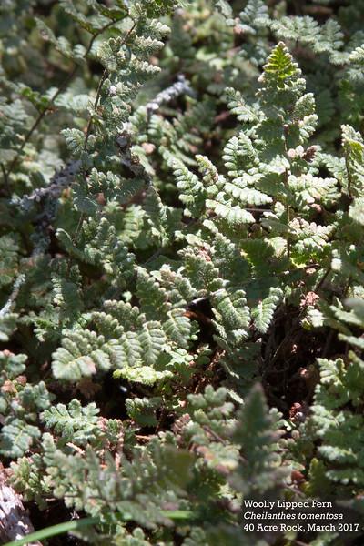 woolly lipped fern.jpg