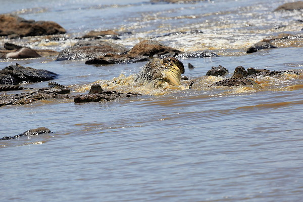 Nile Crocodile Mini Crossing Mara Kenya 2017