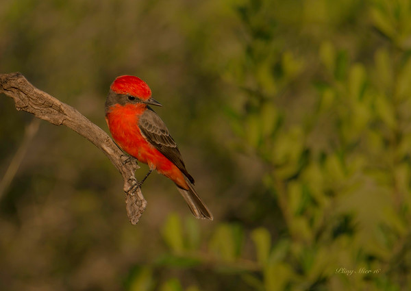 Vermillion Flycatcher TR_DWL7020.jpg