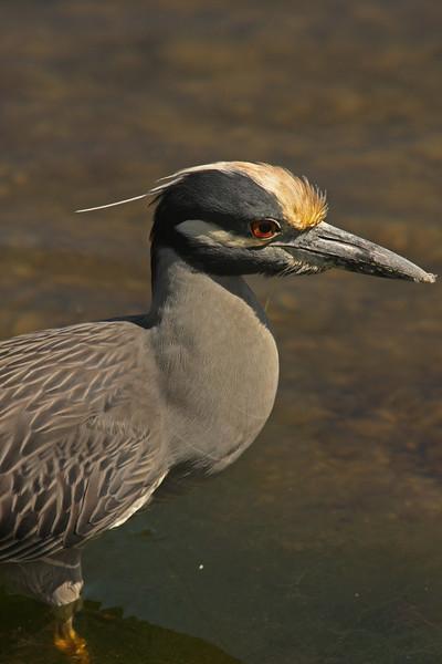 Yellow-crowned Night Heron, Ding Darling, Sanibel