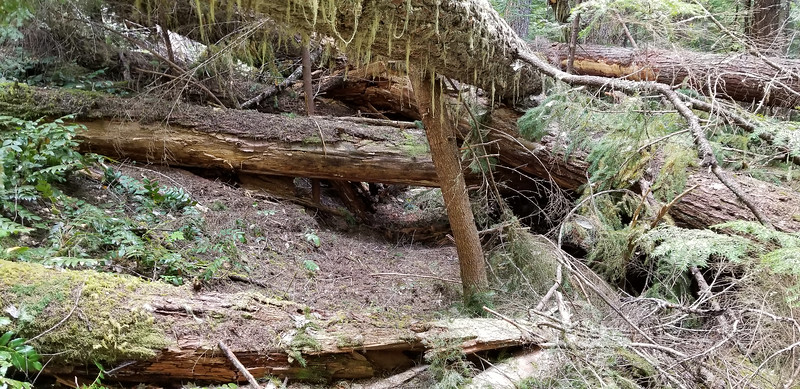 Some of the huge blowdown on the old Bagby Trail