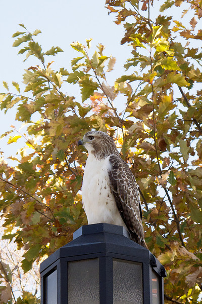 Another hawk-shot.
