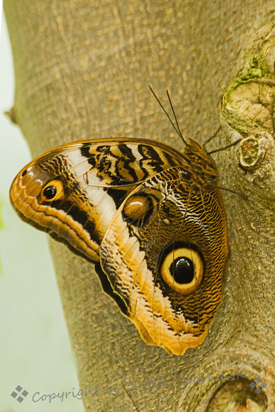 Owl Butterfly ~ One of the very interesting butterflies at the exhibit at San Diego Safari Park.