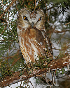 Saw Whet Owl Winter 2012-12