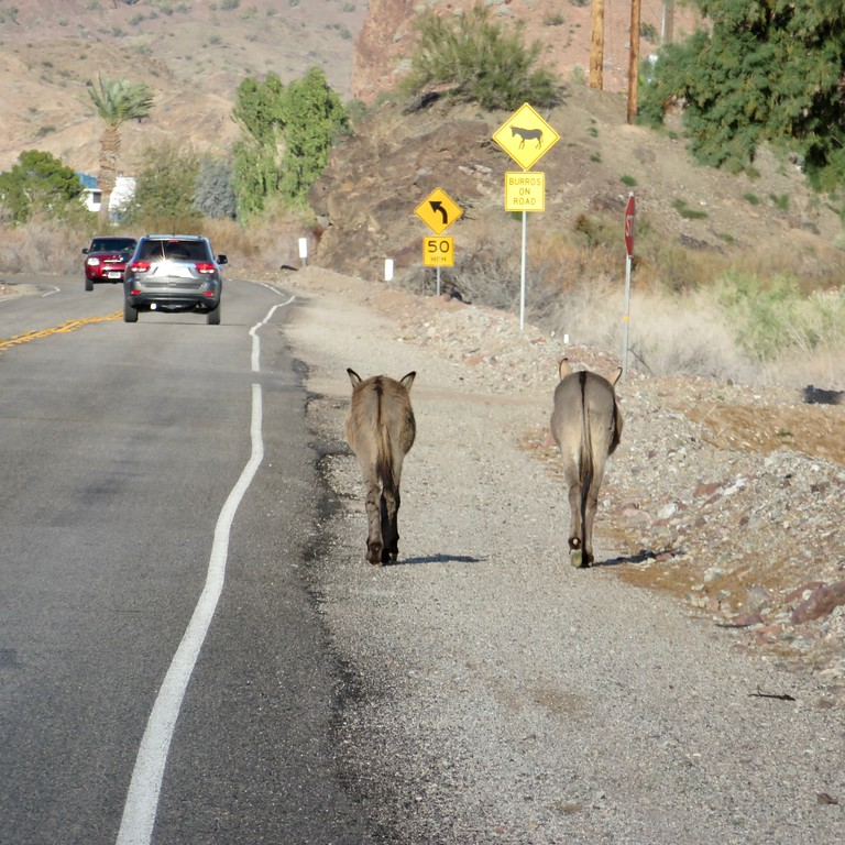 wild burros on the roadway in california