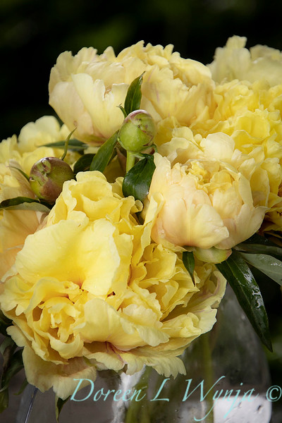 Paeonia x 'Duchesse de Lorraine' - Peony cut flowers_1259.jpg
