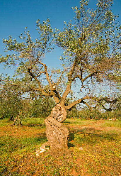 Ancient Olive Tree at Olive Yard in Puglia, Italy