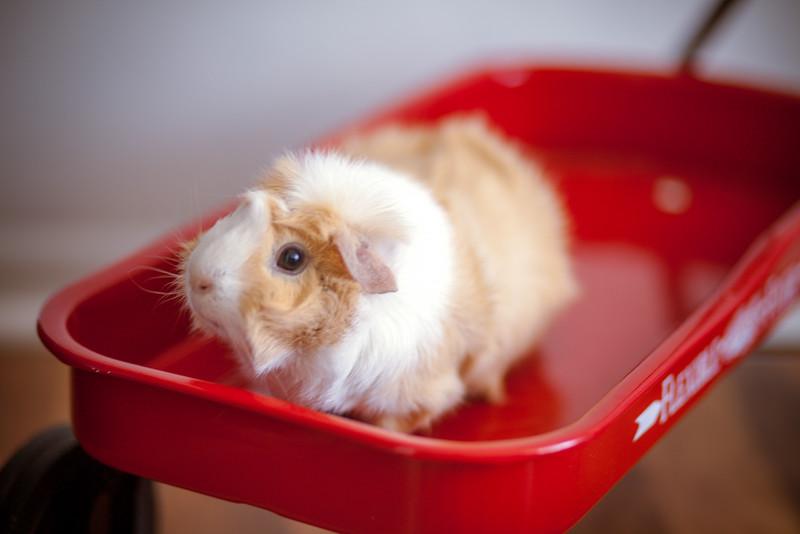 Ginea Pigs-18.jpg
