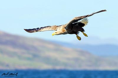 Eagles & Buzzards