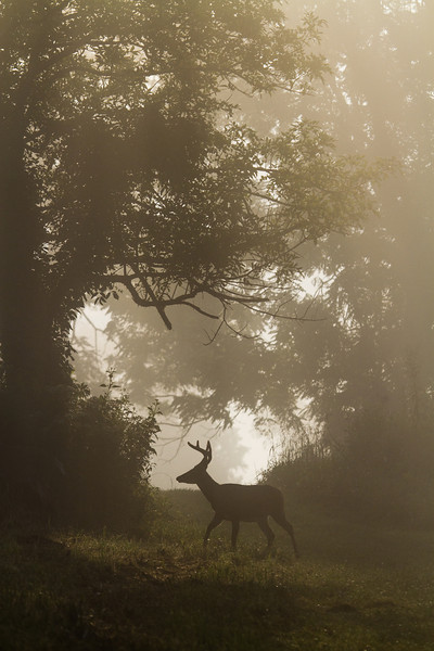 White tailed buck silhouette