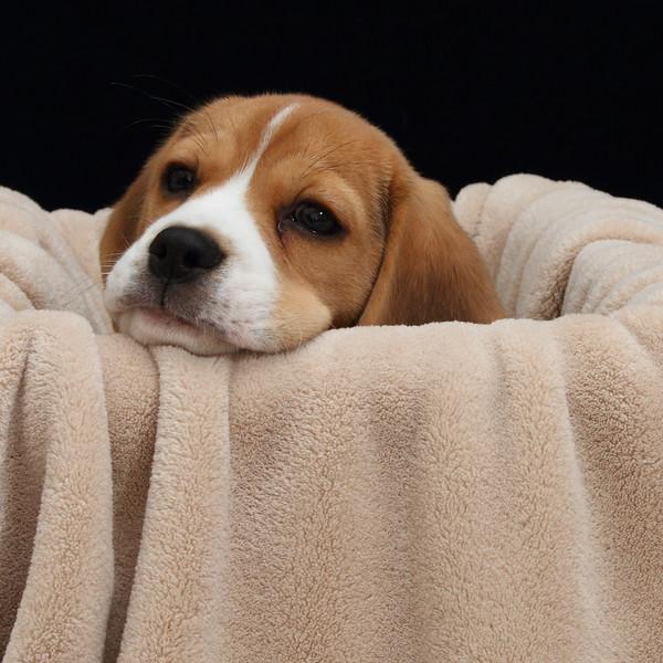 Beagle in a Box_03