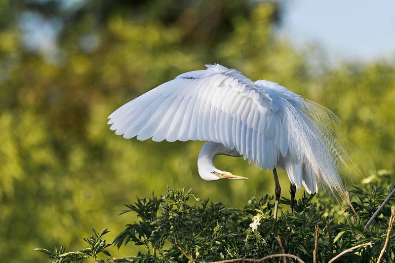 White Egret Preening Gatorland Natural Rookery Orlando, Florida © 2013