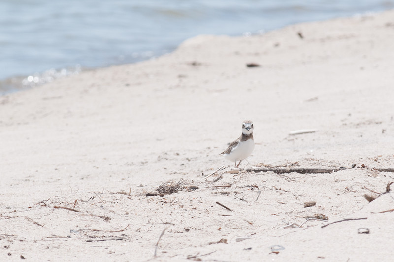 A wilson's plover on the university beach.
