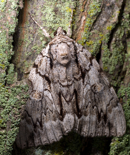 Nocturnal Underwing Moth