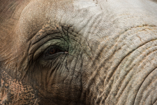 Experienced Eye of an Elephant