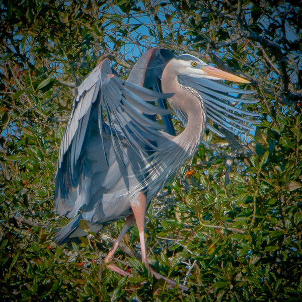 Great Blue Heron at GTM Reserve #1 03/14