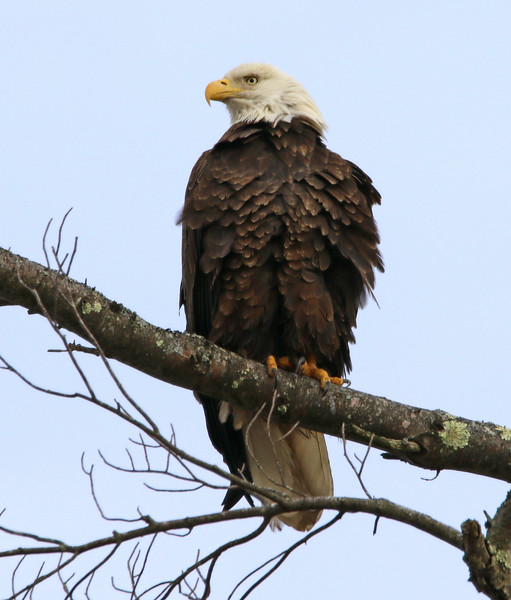 bald eagle maine 2.jpg