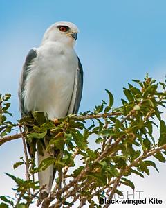 Black-winged Kite, Kenya