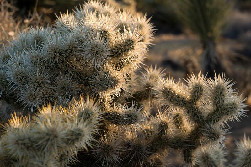 """Cholla cactus (""""Jumping Cholla"""")  - Joshua Tree National Park."""