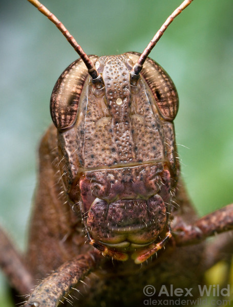 A Belizean grasshopper photographed at night at Caves Branch Lodge. The BugShot workshop will teach how to compose & light this type of micro-portrait.