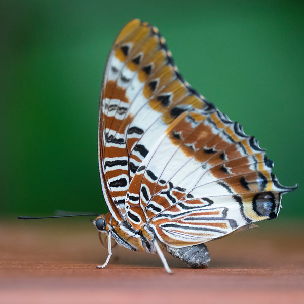 White-barred Emperor 01